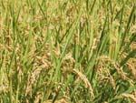 収穫前の稲